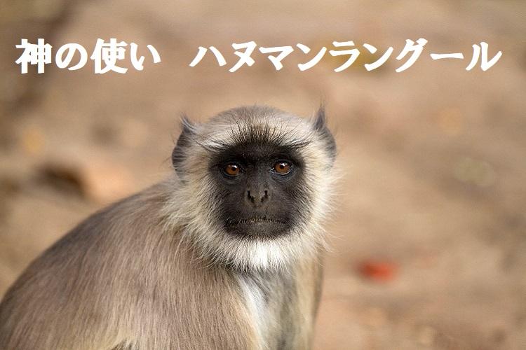 【ハヌマンラングール】神の名を持ち、孫悟空のモデルとも言われる崇高なお猿様