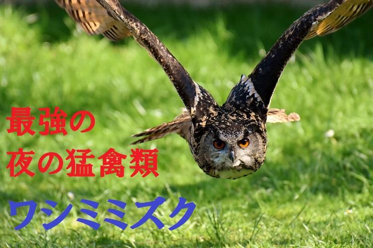フクロウの中で最大種の「ワシミミズク」は最強の夜の猛禽類!?