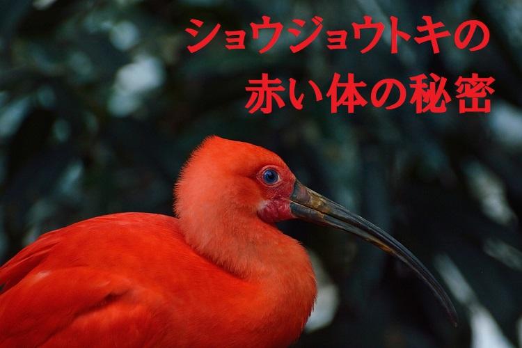 「ショウジョウトキ」は体色が黒から赤に変化する不思議な生態!フラミンゴと同じく餌に秘密が!