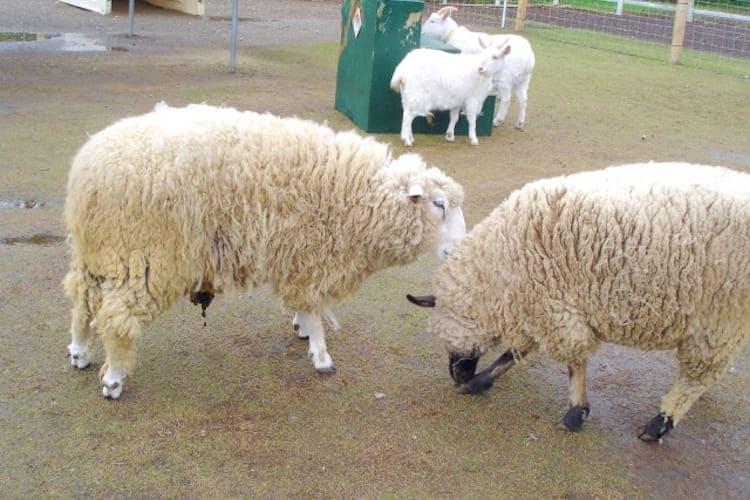 「羊の鳴き声」と「ヤギの鳴き声」の聞き分け方!特徴を知れば一発でわかる!?