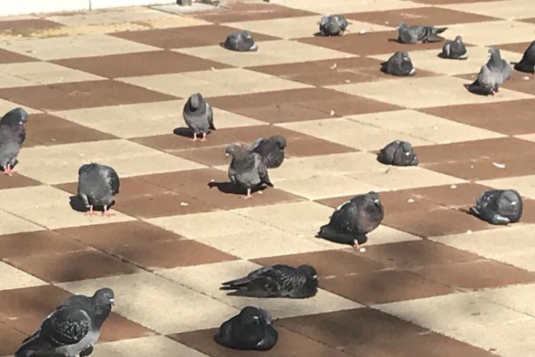 台風後の鳩たちがめちゃくちゃ疲れた顔をしていた「帰宅中のサラリーマン」「台風の報告会」