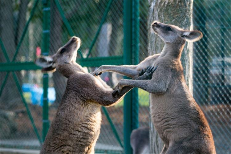 【衝撃の事実】オーストラリアでカンガルーは厄介者!?人間の倍以上の数がいるらしい
