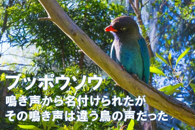 鳴き声が「仏法僧」と聞こえる鳥「ブッポウソウ」、実はその鳴き声は違う鳥のものでした!ってどういう事?