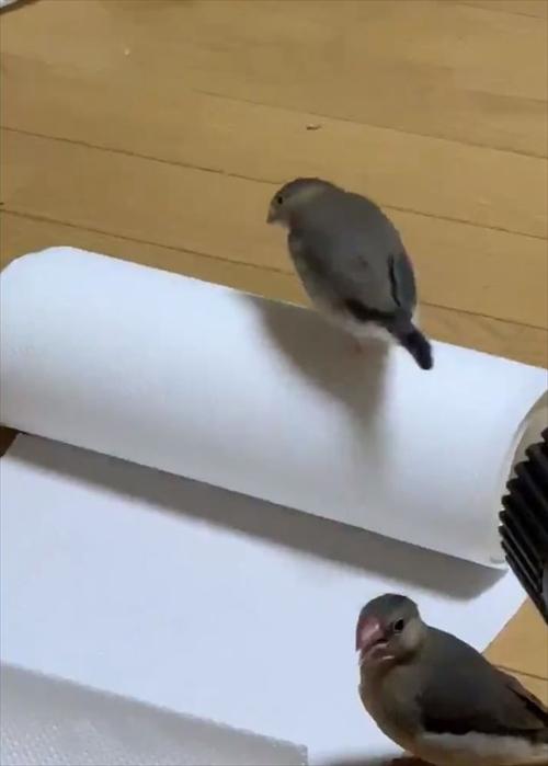 文鳥 名前 由来
