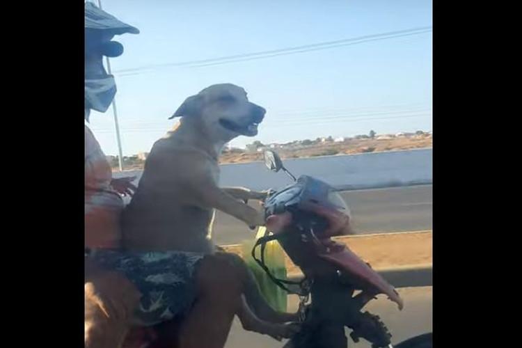 ブラジル人もびっくり!バイクを運転するワンコが目撃される!