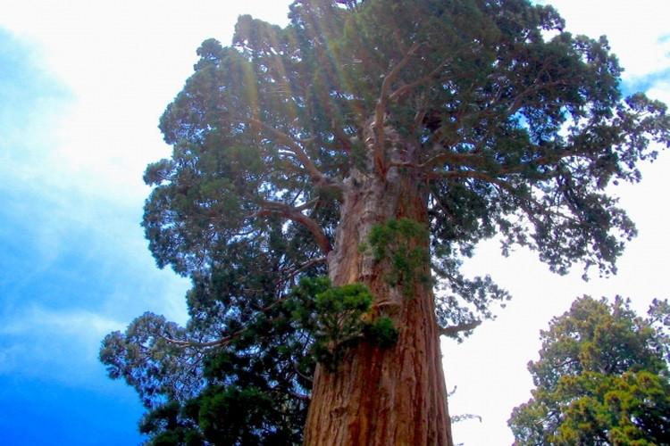 世界一高い木「セコイア」とはどんな木?太古から生き続ける生命力の神秘に迫る!