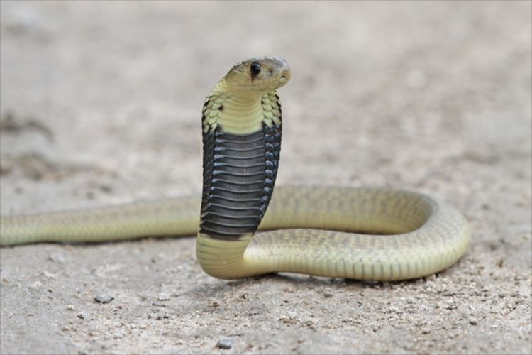 実は日本にもコブラ科の毒蛇が存在!毒性はハブの5倍!しかし危険ではない?