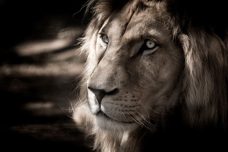 ライオンを漢字で書くと獅子!だけど獅子とライオンは別?