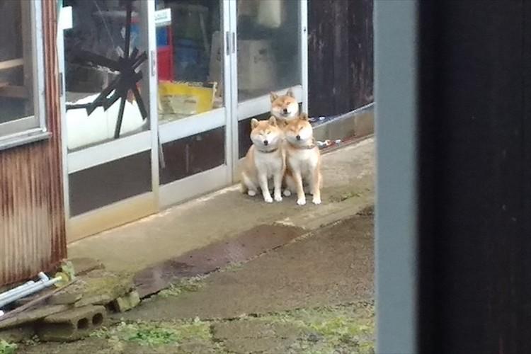 首をなが~くして散歩を待ちわびる3匹の柴犬が可愛らしい!3つ首の番犬ケルベロスにも見える!?