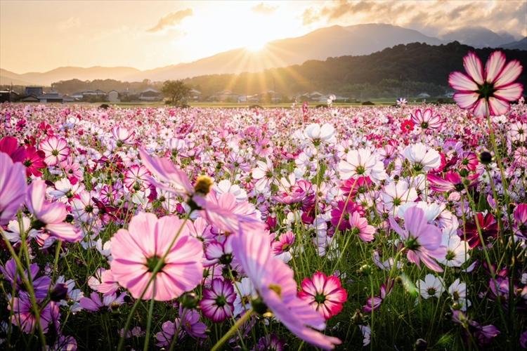 「この世の光景とは思えない」一面に咲き誇る、夜明けのコスモスが美しすぎると話題に!