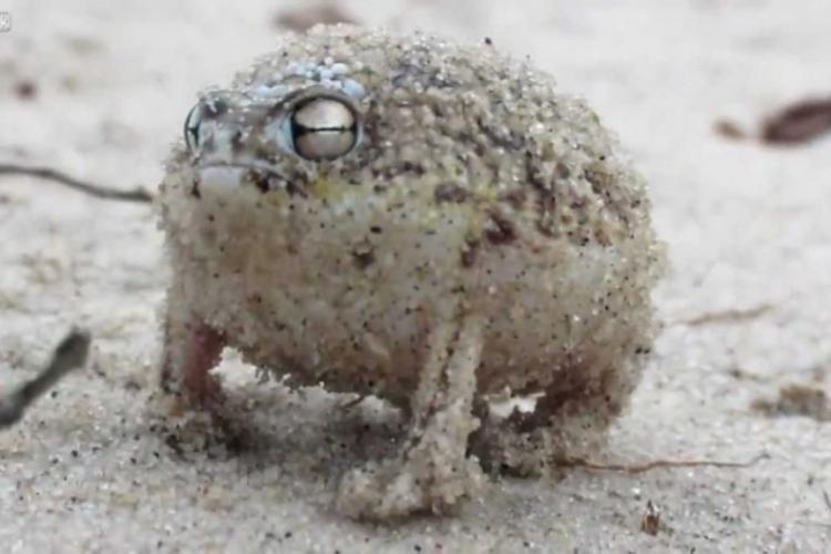世界一かわいいカエル「ナマカフクラガエル」を知ってる?見た目も声もかわいすぎ!