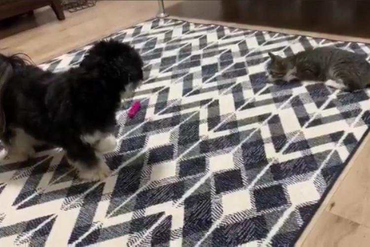 天才的な闘猫士現る!猫じゃらしを華麗に操って子猫と遊ぶワンコが凄すぎ!