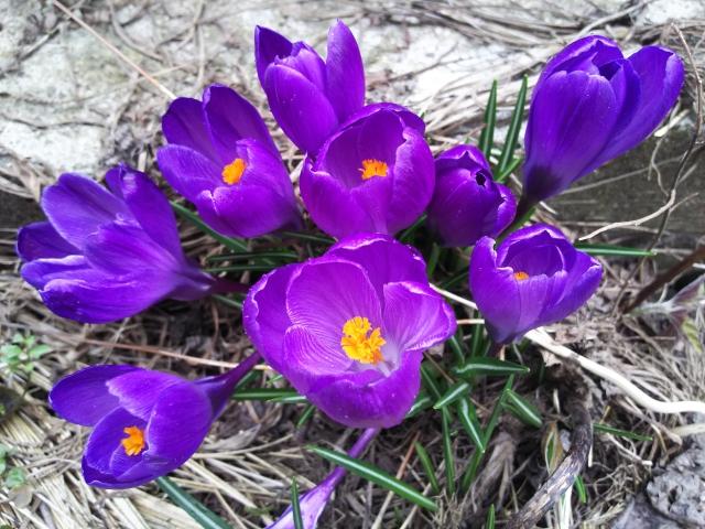 紫のクロッカス