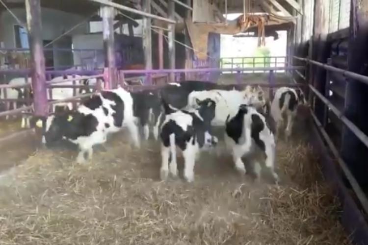テンションアゲ~♪なところを撮影されていると気付いた牛たち、その反応が思春期女子だった(笑)