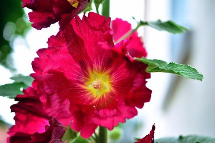 葵の花言葉は?花の葵と徳川家の葵の紋は無関係?