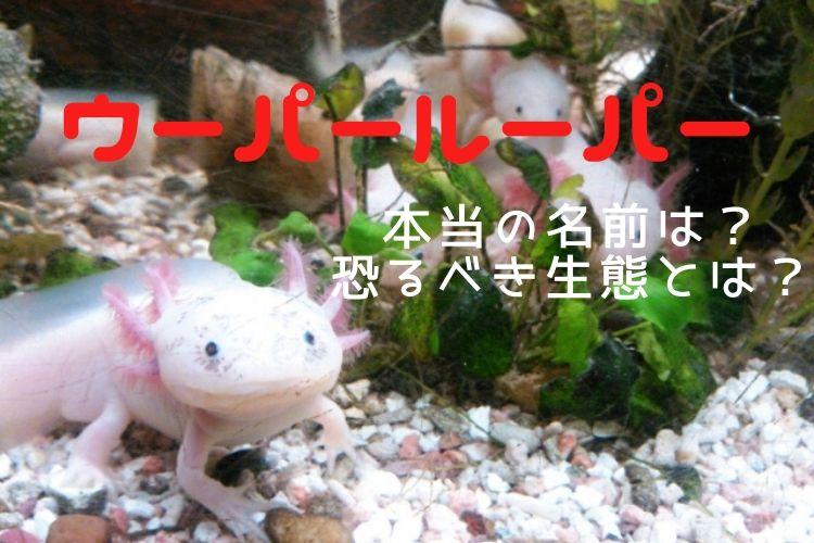 「ウーパールーパー」は日本でしか伝わらない?!本当の名前はアホロートル!