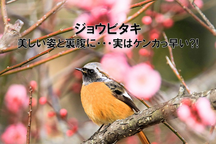 美しい姿ながらケンカっ早い!冬の渡り鳥の「ジョウビタキ」をご紹介
