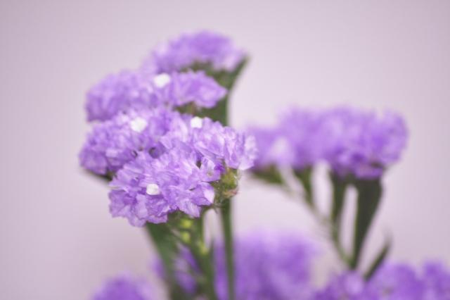 紫のスターチス
