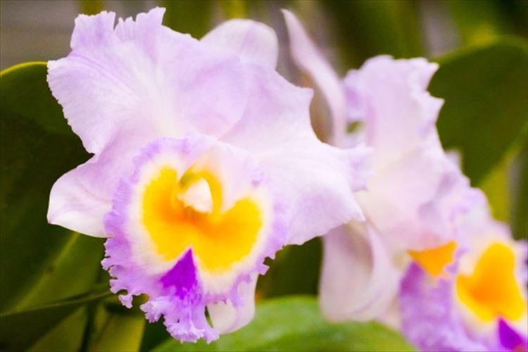 カトレアの花言葉は?洋ランの女王とも呼ばれる人気のお花