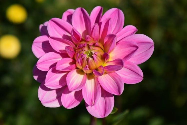 名前がカッコイイ花「ダリア」の花言葉は?花言葉もカッコイイ!