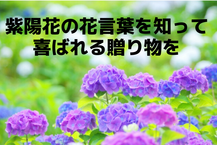 紫陽花の花言葉は色によって様々!贈る前に知っておきたい色ごとの意味