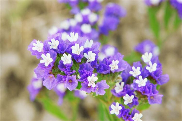 プレゼントとして最適なスターチスの花言葉とは?ドライフラワーにも適した人気のお花