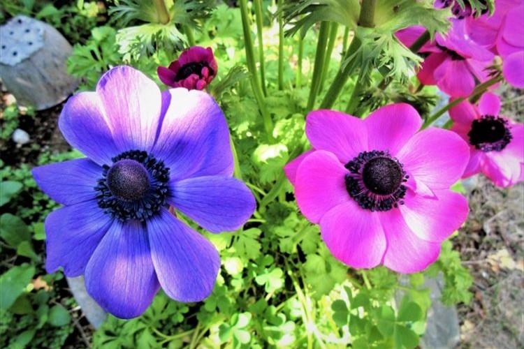 アネモネの花言葉はネガティブなものが多い!その理由を解説