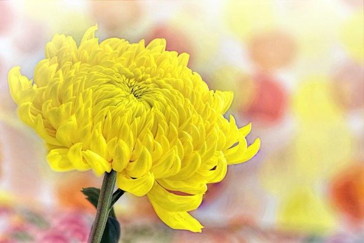 日本人には馴染み深い菊の花言葉は?天皇家の紋章にも使われる高貴な花
