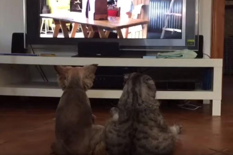 まるで人間の兄弟のよう・・テレビを並んで鑑賞するワンコとニャンコが可愛らしい!