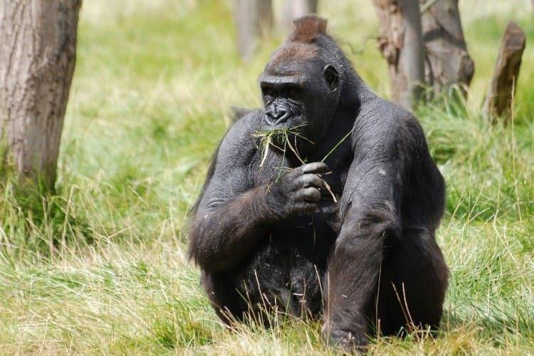 動物界最強の握力を持つ!?世界のゴリラ4種それぞれの生息地と特徴まとめ