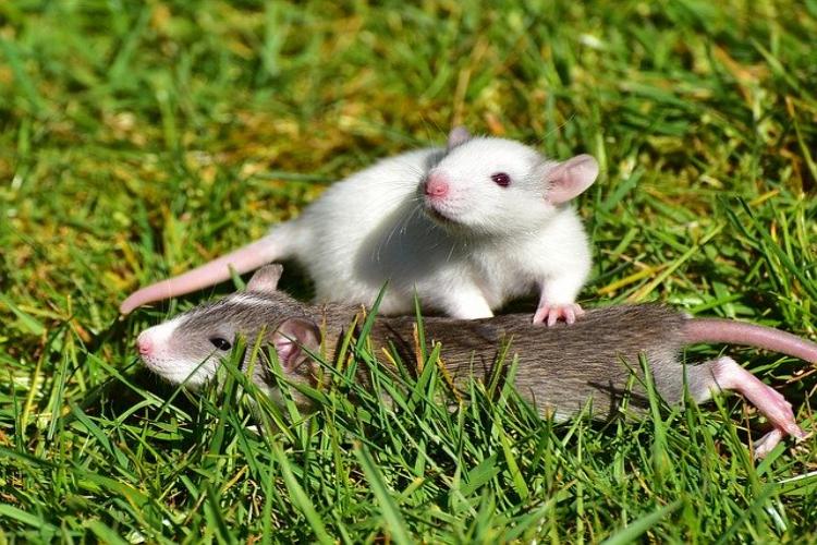 英語でネズミという意味のラットとマウスは何が違うの?