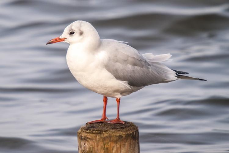 交通機関の名前にもなった「ゆりかもめ」ってどんな鳥?夏と冬ではまるで別鳥