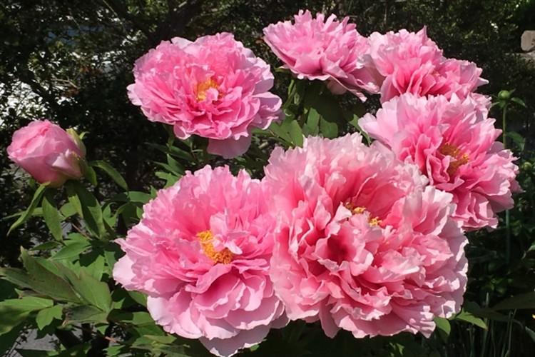 牡丹の花言葉や由来を紹介!百花王や花神など多くの別名を持つ花の中の花