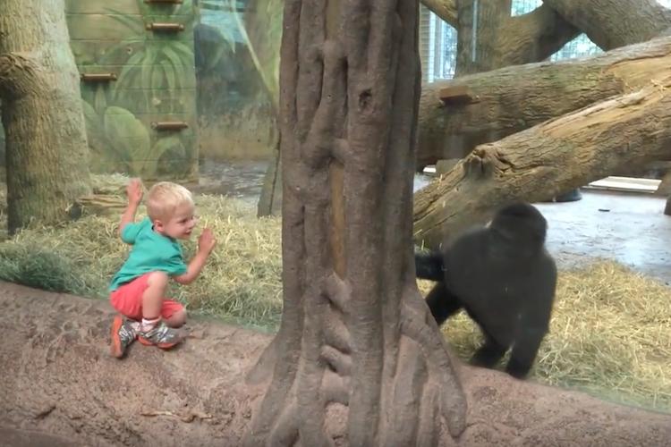 ざんね〜ん、こっちでした〜!2歳の子ゴリラと2歳の少年の追いかけっこがめちゃかわいい!