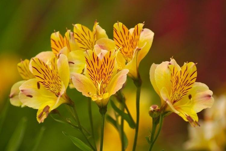 アルストロメリアの花言葉は?中には花名の由来ともなる物語がある