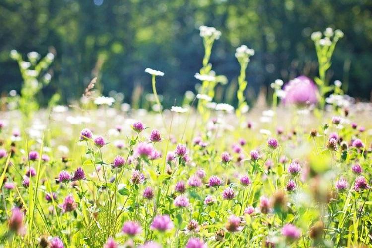 スコットランドの国花「アザミ」の花言葉は?日本では食用にも!