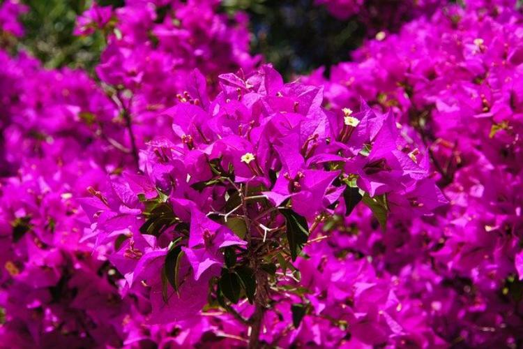 かわいくてきれいな花「ブーゲンビリア」の花言葉は?
