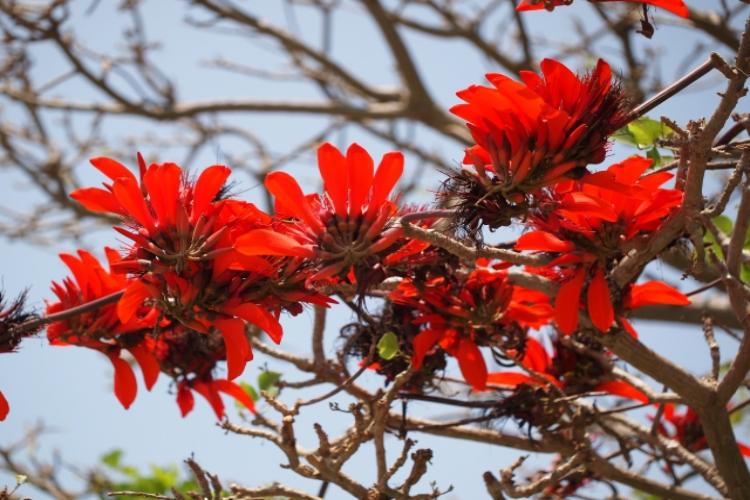 真っ赤な花を咲かせるデイゴ!沖縄の県花は台風を呼ぶ花?