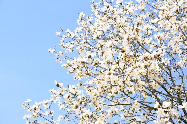 春の訪れを教えてくれる「こぶしの花」。名前の由来は「拳」から来た?