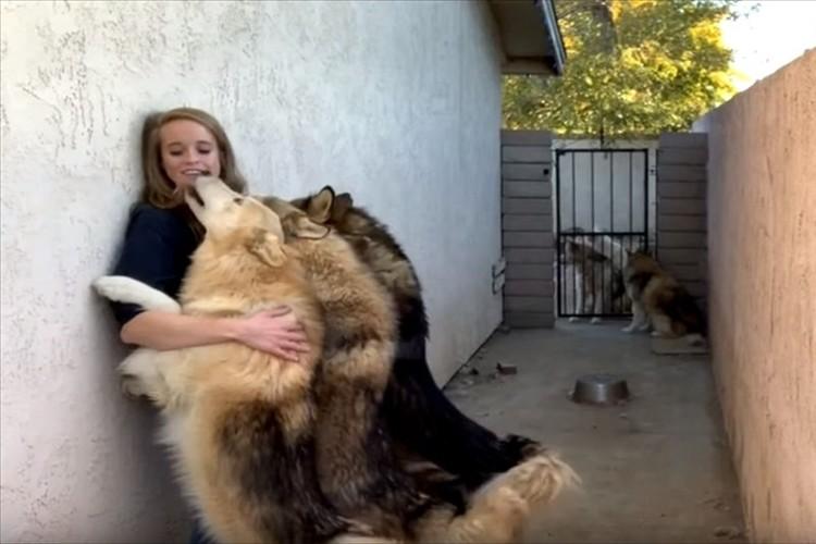見た目はワイルドで大きな狼犬。飼い主に甘えまくる様子が可愛すぎると話題に!
