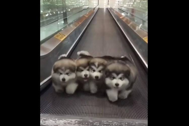 「いつまで走ればいいんだワン!?」オートスロープを走るマラミュートの子犬たちが可愛すぎる!