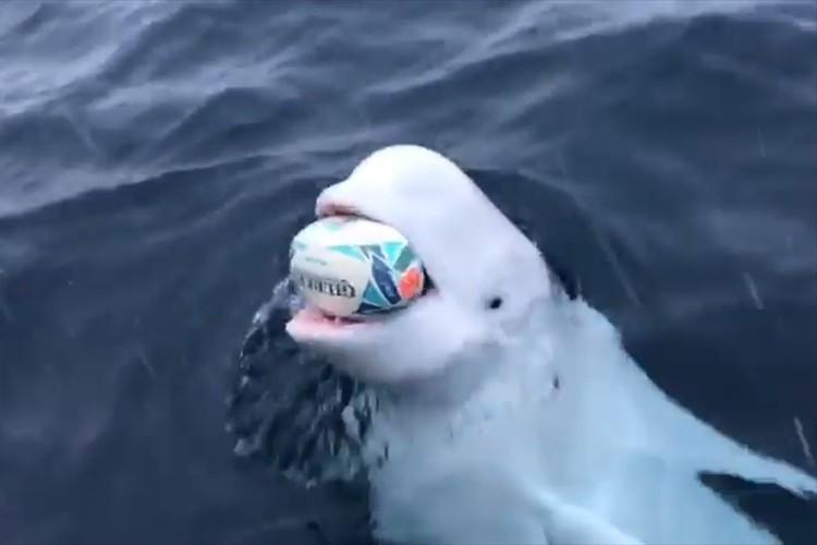船員とラグビーボールで遊ぶシロイルカがめちゃめちゃ可愛い!イルカの賢さも改めて実感!