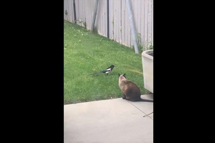 猫のしっぽが気になって後をつける鳥。気づかれては知らんぷりを繰り返す様子がまるでコント!