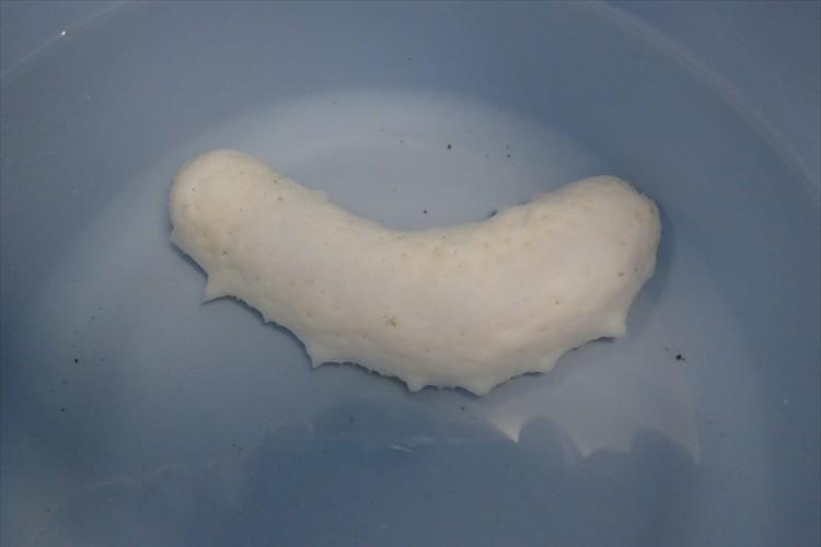 一体何なのか!?形はアレに似ているけど・・まるで漂白したかのような白い生物が話題に!