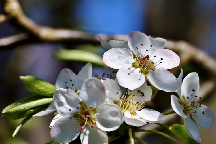 梨の名前の由来や花言葉について解説!梨は無しというのは昔からだった