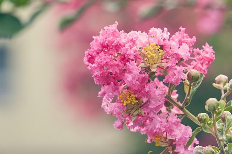 百日紅(サルスベリ)の花言葉は?絶対に読めない漢字の秘密も解説