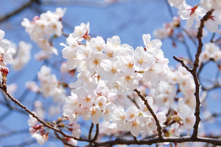 花見の定番「ソメイヨシノ」の花言葉を知っていますか?花見話せるソメイヨシノ雑学