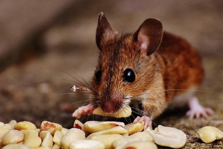げっ歯類って何?実は地球上で最も繁栄している哺乳類なんです!