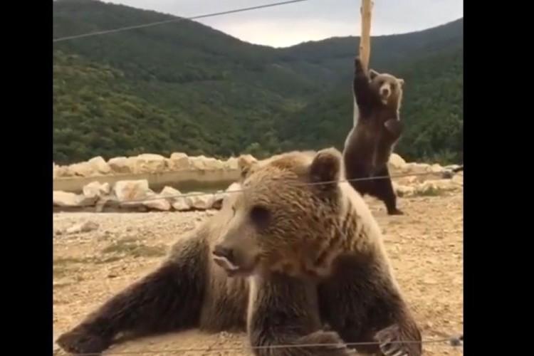お尻をかく姿がまるでポールダンスみたい!セクシーすぎるクマが面白い