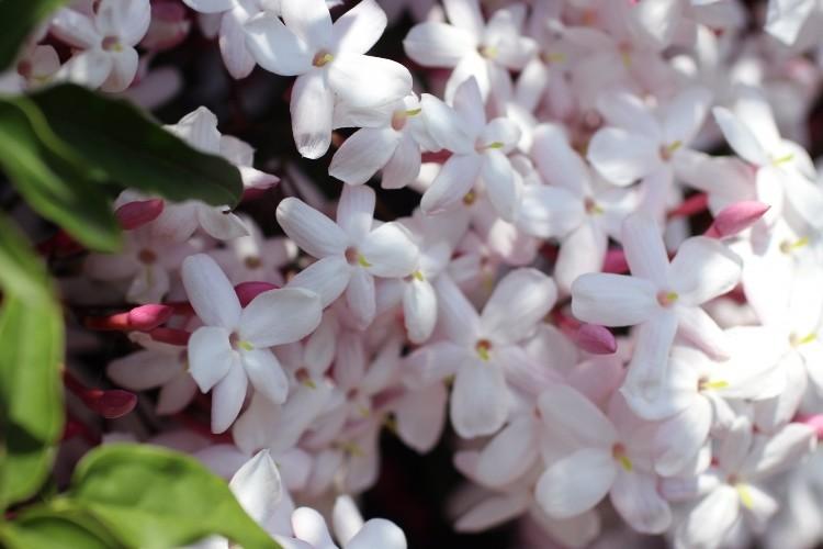 ジャスミン(茉莉花)の花言葉は?その甘い香りからセクシーな意味も